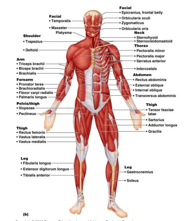 A gastrocnemius izom visszér. A láb belső visszérének tünetei