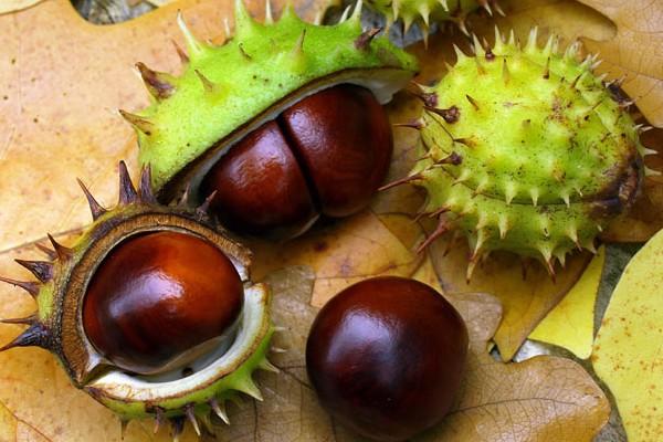 Gesztenye gyümölcs visszérből, Népi gyógymódok, természetgyógyászati eljárások