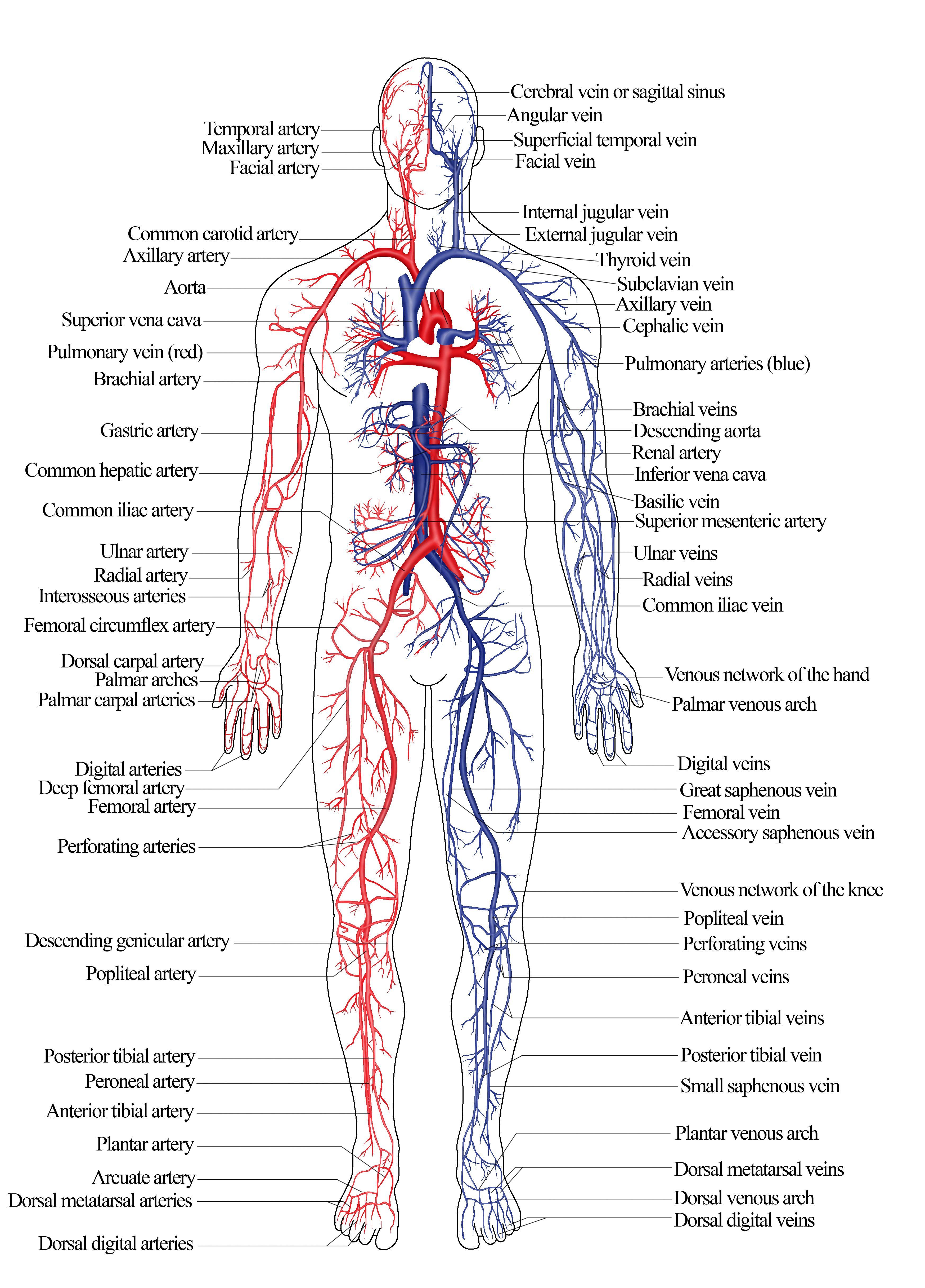 Hogy a sebész hogyan kezeli a visszérbetegségeket - Hogyan kezelhető a visszeres láb?