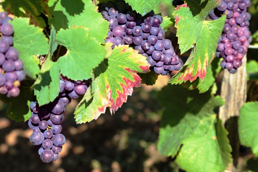 szőlő és visszér